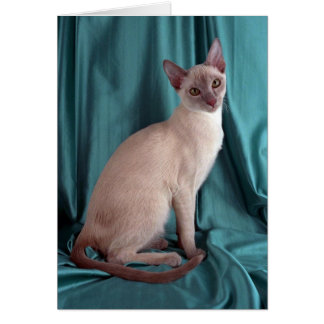 Tonkinese, lilac card