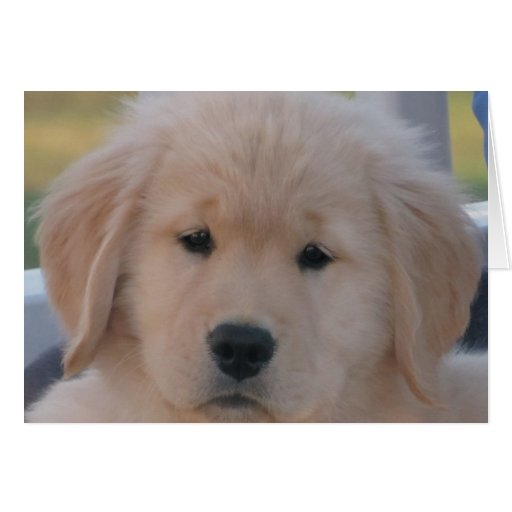 Too Sweet Golden pup Greeting Card