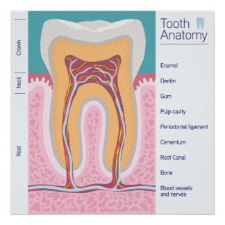 Tooth Anatomy illustration Poster