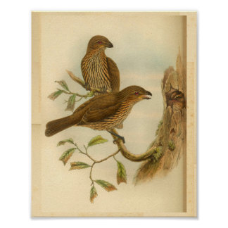 Toothed Billed Bower Bird Brown Vintage Print
