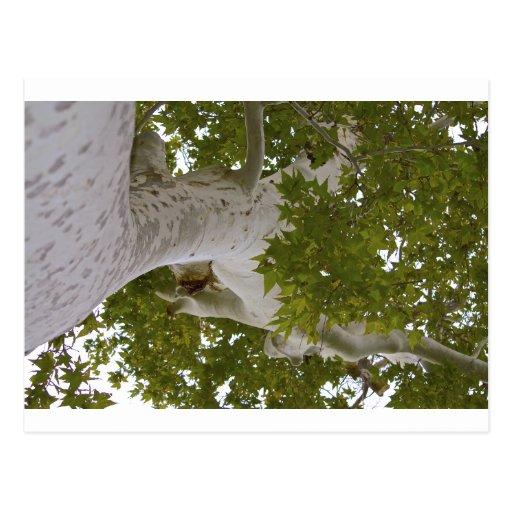 Top del árbol tarjetas postales