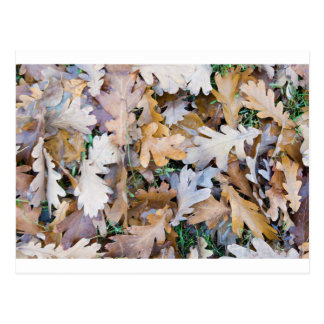 Top view of a layer of fallen oak leaves postcard