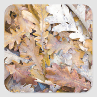 Top view of a layer of fallen oak leaves square sticker