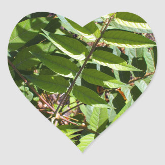Top view of a young sapling tree Ailanthus altissi Heart Sticker