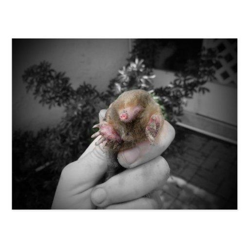 Topo vivo a disposición bw.jpg colorized sonriente postales