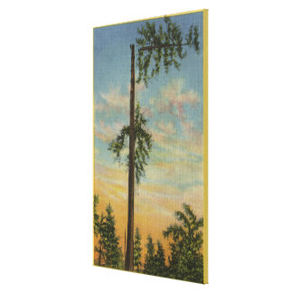 Topping Giant Spruce for 200 ft. Sailing Canvas Print