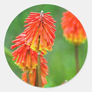 Torch Lily (Kniphofia Uvaria), Western Cape Classic Round Sticker