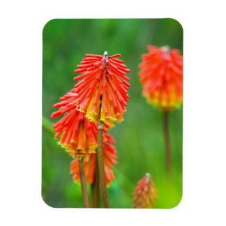 Torch Lily (Kniphofia Uvaria), Western Cape Rectangular Photo Magnet