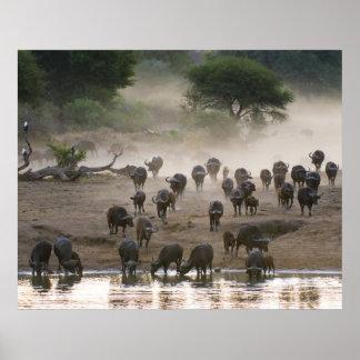 Tormenta del polvo del búfalo póster