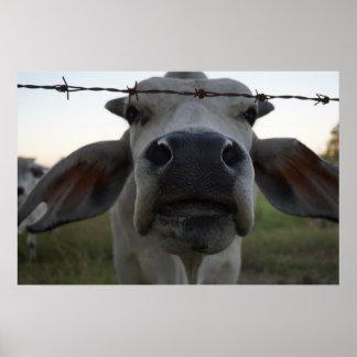 toro Australia rural del brahman Póster