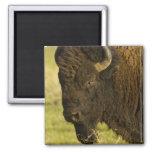 Toro del bisonte en la gama nacional del bisonte, imán cuadrado