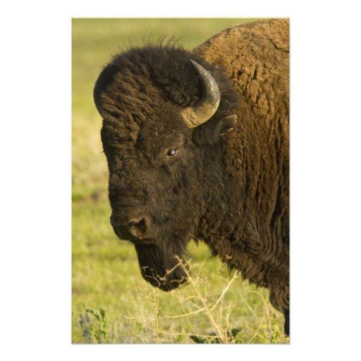 Toro del bisonte en la gama nacional del bisonte, arte fotográfico