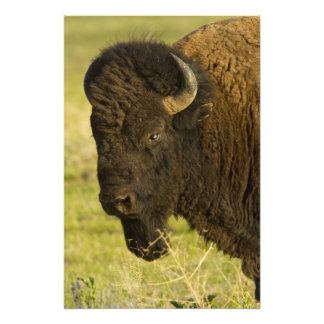Toro del bisonte en la gama nacional del bisonte fotografía