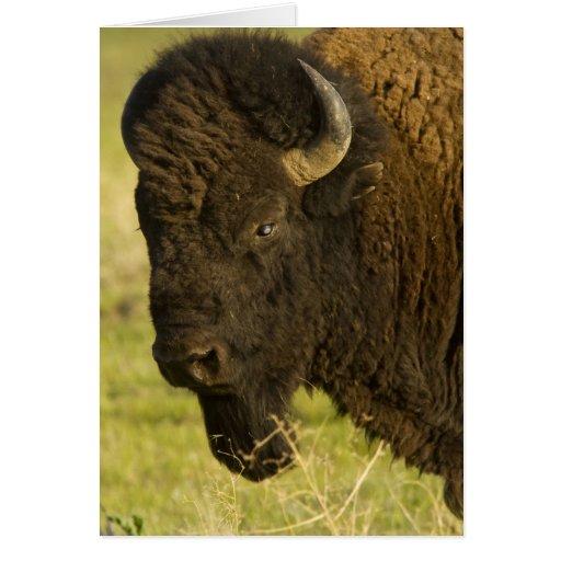 Toro del bisonte en la gama nacional del bisonte, tarjeta de felicitación
