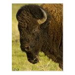 Toro del bisonte en la gama nacional del bisonte, tarjetas postales