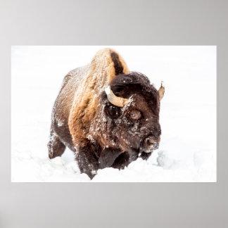 Toro del bisonte que forrajea en nieve profunda póster