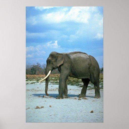 Toro Elefante-enorme indio Poster