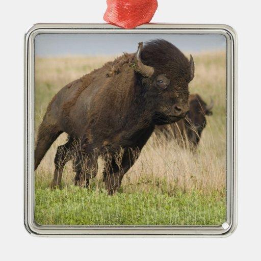 Toro joven del bisonte de Fiesty en el Tallgrass Ornamento De Navidad