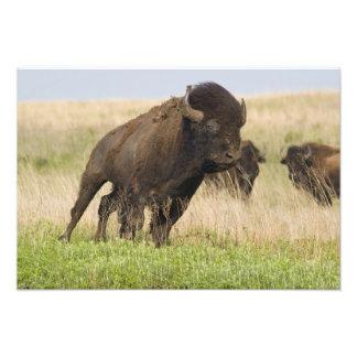 Toro joven del bisonte de Fiesty en el Tallgrass Fotografías