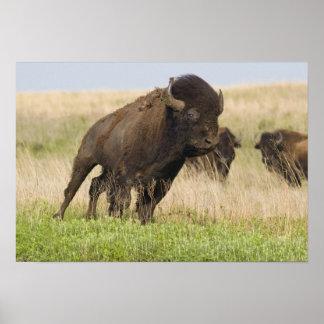 Toro joven del bisonte de Fiesty en el Tallgrass Posters