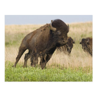 Toro joven del bisonte de Fiesty en el Tallgrass Postales