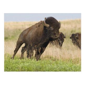 Toro joven del bisonte de Fiesty en el Tallgrass Tarjetas Postales