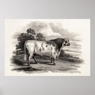 Toros blancos agrícolas viejos de Bull de los 1800 Posters