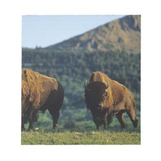Toros del bisonte en el parque nacional de los lag blocs de papel