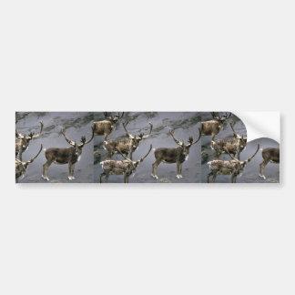 Toros del caribú en terciopelo etiqueta de parachoque