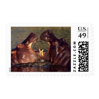 Toros del Hippopotamus (Hippopotamus Amphibius) Estampilla