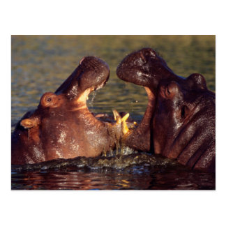 Toros del Hippopotamus (Hippopotamus Amphibius) Postal