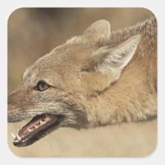 Torres del Paine, Chile. Fox gris patagón, Pegatina Cuadrada