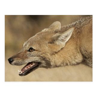 Torres del Paine, Chile. Fox gris patagón, Postal