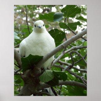 Torres Strait Pigeon Poster