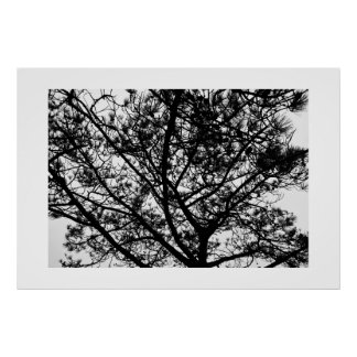 Torrey Pine Branches Poster