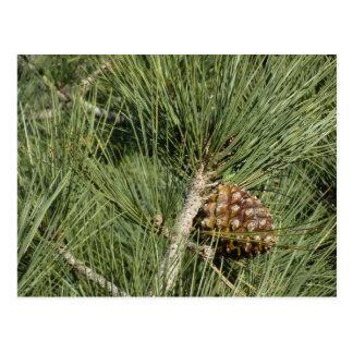 Torrey Pine Closeup Postcard
