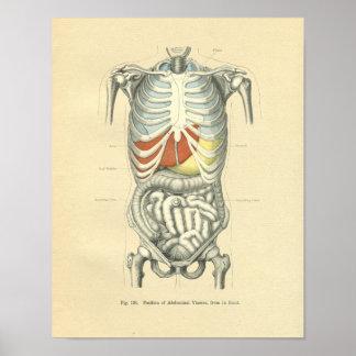 Torso anatómico de la imagen de Frohse del vintage Poster