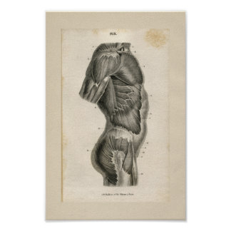 Torso Muscles Vintage Anatomy Print