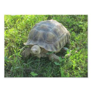 Tortoise in Grass Photo