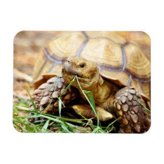 Tortoise Munching Grass Rectangular Photo Magnet