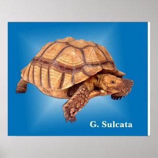 Tortoise on Blue Poster