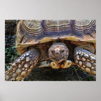 Tortoise Photo Poster
