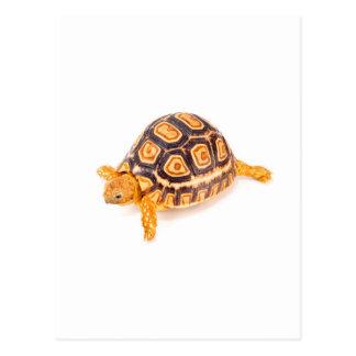 Tortoise Postcard