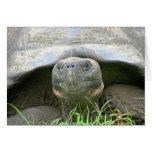 Tortoise, Santa Cruz Island, Galapagos Cards