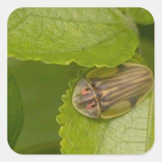 Tortoise shell beetle, cloud forest, Costa Rica Sticker