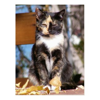 Tortoise Shell kitten 1 Post Card