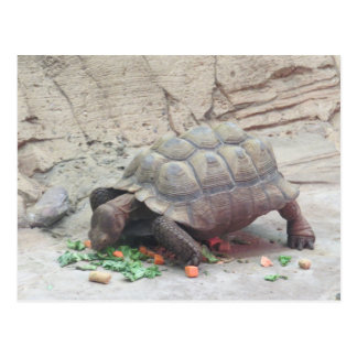 Tortoise Turtle Reptile Postcard
