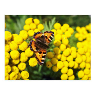 Tortoiseshell butterfly on tansy  flowers postcard
