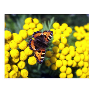 Tortoiseshell butterfly on tansy postcard