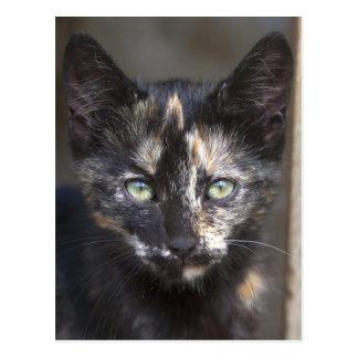 Tortoiseshell Kitten Postcard